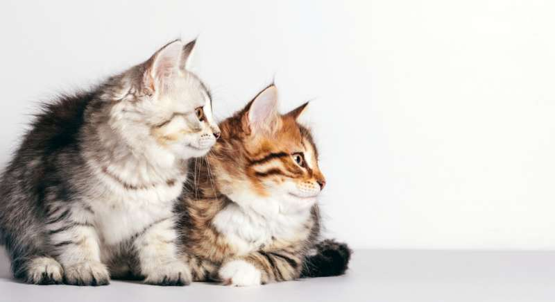 Two kittens, Syberian cats looking to the side
